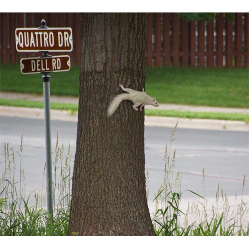 CRAZY ALBINO SQUIRREL!