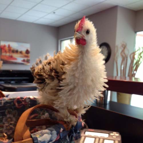 Office Chicken